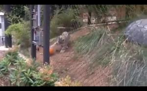 Leopard bawiący się dynią