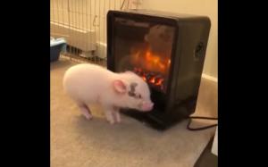 Świnka przy piecyku