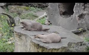 Znudzona wydra