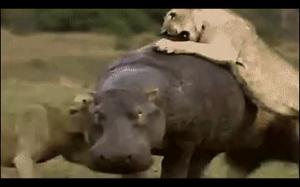 Hipopotam się nie przejmuje . Hipopotam ma coś do zrobienia. Hipopotam jest już spóźniony.