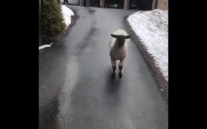 Szczęśliwa owca