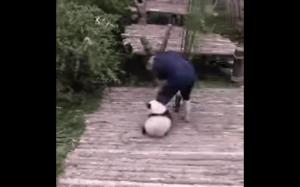 Zdeterminowana panda