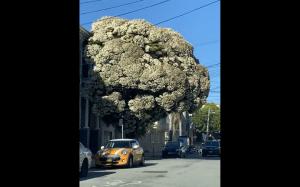 Wielki brokuł