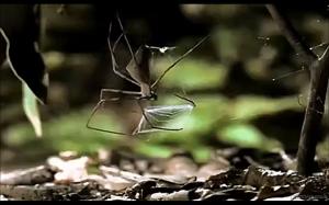 Tak poluje pająk gladiator