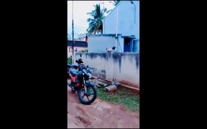 Latający kogut