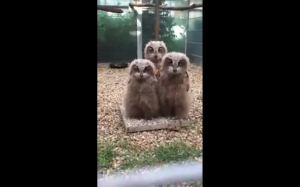 Małe sowy