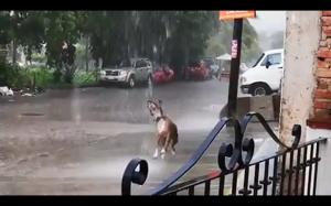 Pieseł tańczący w deszczu