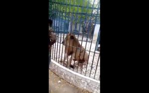 Tak się kończy zaczepianie lwa