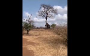Słoń łamiący drzewo
