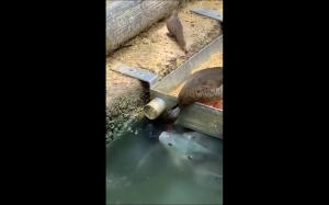 Kaczka karmiąca ryby