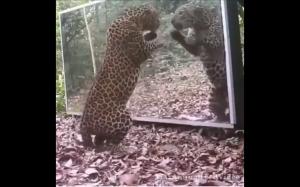 Jaguar spotyka swoje odbicie