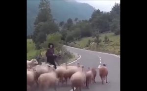 Zemsta owiec