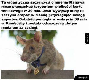Szczurzyca na medal