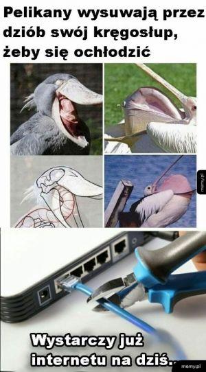 Kręgosłup pelikanów