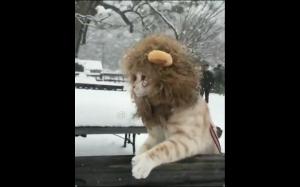 Lew śnieżny