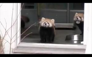 Przerażona czerwona panda