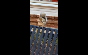 Ta wiewiórka nie jest wegetarianką