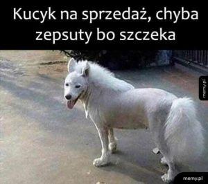 Kucyk