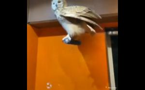 Sowa i jej wielkie skrzydła