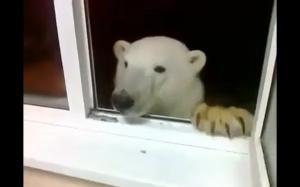 Dokarmianie niedźwiedzia polarnego