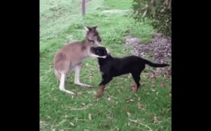 Kangur widzi psa po raz pierwszy