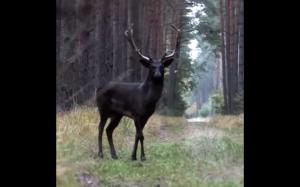 Rzadko spotykany, czarny jeleń