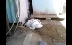 Królik ratujący kota