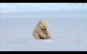 Miś wystraszył się foki