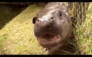Mały  hipopotam