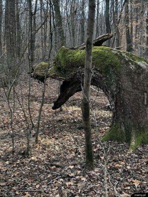 To drzewo wygląda jak smok