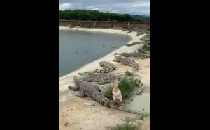 Kaczka vs krokodyle