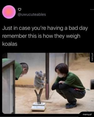 Jak zważyć koalę