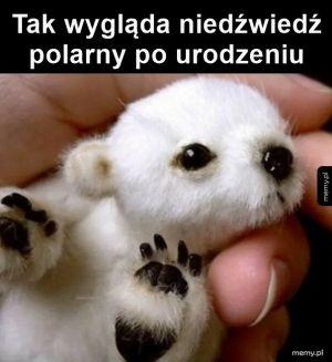 Mały niedźwiedź