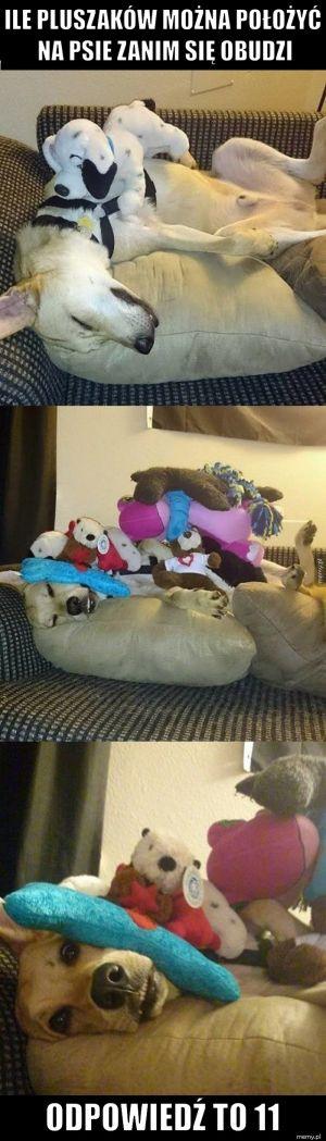 Ile pluszaków można położyć na psie