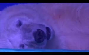 Najsmutniejsze niedźwiedź polarny na świecie