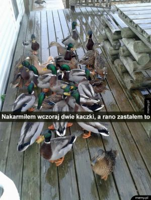Sprytne kaczki