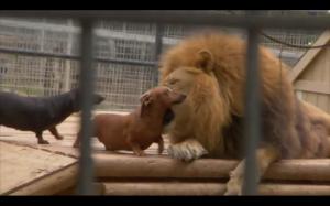 2 hot-dogi same przybiegają na śniadanie dla lwa